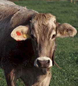 cowforblog